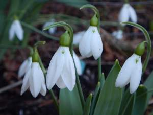 snowdrops galanthus after the big snow garden Victoria BC Pacific Northwest