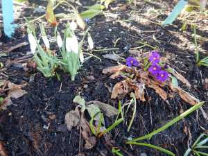 snowdrops galanthus primula wanda after the big snow garden Victoria BC Pacific Northwest