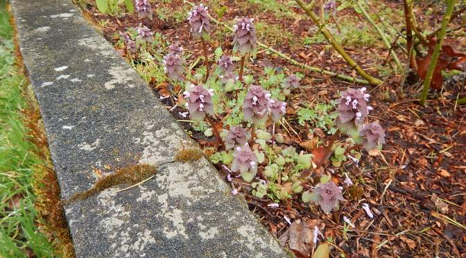 self-heal, Prunella, garden Victoria BC Pacific Northwest
