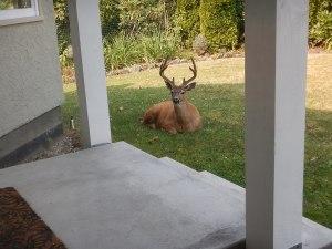 urban black tail deer tree garden Victoria, Vancouver Island, BC, Pacific Northwest