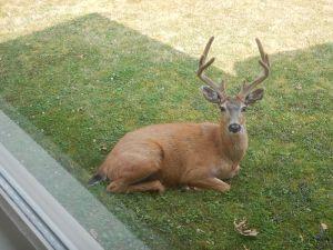 deer move in