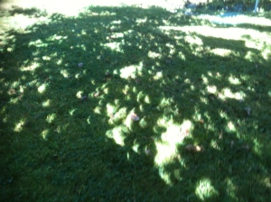 solar eclipse through the leaves garden Victoria, Vancouver Island, BC, Pacific Northwest