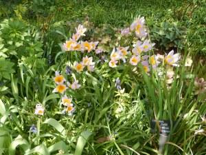 Tulipa saxatilis, mini botanical tulip garden Victoria, Vancouver Island, BC, Pacific Northwest