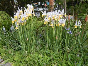 Dutch Iris, Iris hollandica, garden Victoria, Vancouver Island, BC, Pacific Northwest