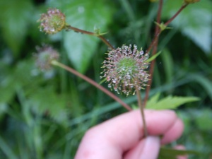 large-leavedavens,Geum macrophyllum, largeleaf avens, big leaf avens, garden Victoria, Vancouver Island, BC, Pacific Northwest