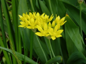 Allium Moly Luteum, golden garlic, yellow onion, garden Victoria, Vancouver Island, BC, Pacific Northwest