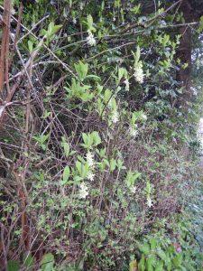 Oemleria cerasiformis, Indian Plum, June plum, Osoberry, Oregon Plum, Indian Peach, garden Victoria, Vancouver Island, BC, Pacific Northwest
