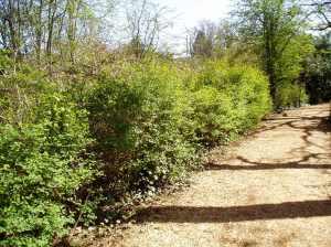 Oemleria cerasiformis, aka Indian Plum, June plum, Osoberry, Oregon Plum, Indian Peach, or Bird Cherry, garden Victoria, Vancouver Island, BC, Pacific Northwest