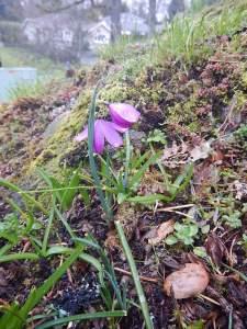 Satin Flower, garden Victoria, Vancouver Island, BC, Pacific Northwest