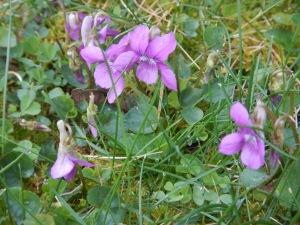 wild violets in lawn, early blue violet, sand violet, western dog violet, hooked spur violet, viola audunca, alaska violet, aleutian violet, viola lnagsdorfii, garden Victoria, Vancouver Island, BC, Pacific Northwest