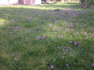 wild violets in lawn, early blue violet, viola audunca, alaska violet, viola lnagsdorfii, garden Victoria, Vancouver Island, BC, Pacific Northwest