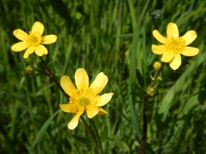 Western Buttercup, Ranunculus occidentalis garden Victoria, Vancouver Island, BC, Pacific Northwest