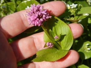Seablush, shortspur, rosy plectritis, Plectritis congesta garden Victoria, Vancouver Island, BC, Pacific Northwest