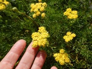 Spring Gold, Lomatium utriculatum, common lomatium; fine-leaved lomatium garden Victoria, Vancouver Island, BC, Pacific Northwest