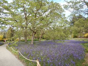 Playfair Park Camas meadow, great camas, Camassia leichtlinii garden Victoria, Vancouver Island, BC, Pacific Northwest