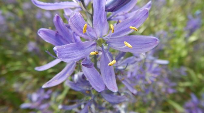 Great Camas In Bloom