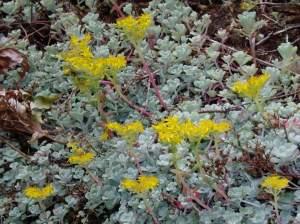 broad leaved stonecrop, spatula-leaved, sedum spathulifolium,, pacific sedum, spoon-leaved, Colorado stonecrop, garden Victoria, Vancouver Island, BC, Pacific Northwest