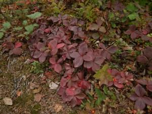 bunchberry, Cornus canadensis, dwarf dogwood,, creeping dogwood, dwarf cornel, crackerberry, native wildflower, garden Victoria BC Pacific Northwest