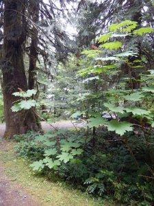 """Devil""""s Club Oplopanax horridus native wildflower, garden Victoria BC Pacific Northwest"""