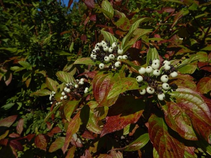 Cornus sericea, Cornus. stolonifera, Swida sericea, red osier dogwood, red-osier dogwood berries, flowers, white berry, garden Victoria BC Pacific Northwest