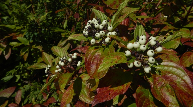 Scary Berries – Red Osier Dogwood