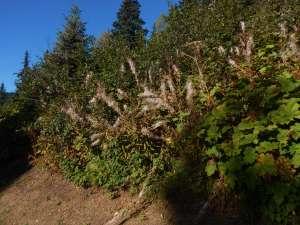 Fireweed, bombweed, rosebay willowherb, Chamerion angustifolium, great willow herb, wickup, Epilobium angustifolium, garden Victoria BC Pacific Northwest