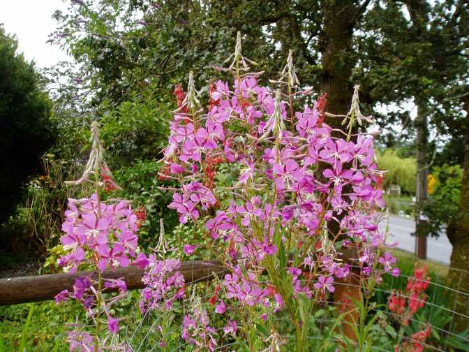 A Place for Fireweed