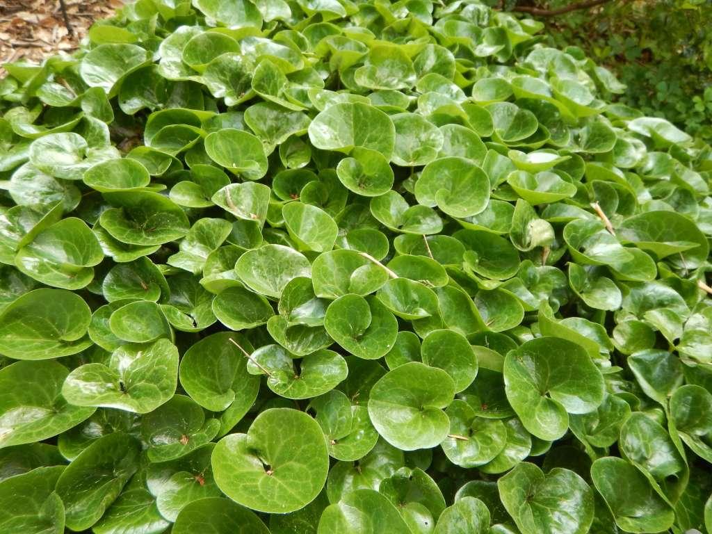 wild ginger, asarum caudatum, British Columbia Wild Ginger, Western Wild Ginger, Long-Tailed Wild Ginger, garden Victoria BC Pacific Northwest