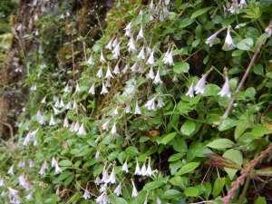 twinflower, garden Victoria BC Pacific Northwest