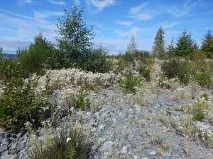 pearly everlasting, Anaphalis margaritacea, garden Victoria BC Pacific Northwest