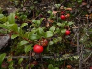 Kinnikinnick, Arctostaphylos uva-ursi, common bearberry, garden Victoria BC Pacific Northwest