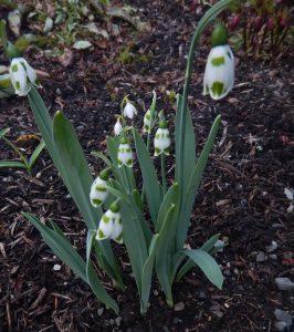 galanthus elwesii snowdrops, garden Victoria BC Pacific Northwest