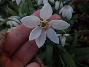 galanthus elwesii poculiformis snowdrops, garden Victoria BC Pacific Northwest