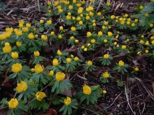 eranthis, winter aconite, cyclamen coum, galanthus, snowdrops, garden Victoria BC Pacific Northwest