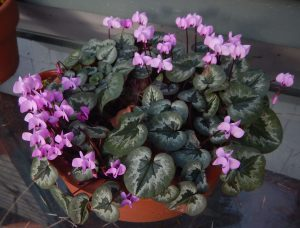 cyclamen coum, in January, garden Victoria BC Pacific Northwest