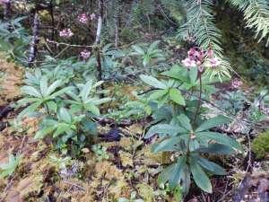 blooming evergreen prince's pine, sub-shrub, Chimaphila umbellata, occidentalis , pipsissewa, umbellate wintergreen,, garden Victoria BC Pacific Northwest
