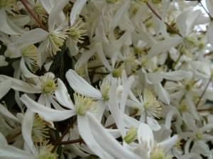 traveller's joy, vine, Armand clematis, winter blooming evergreen clematis armandii snowflake garden Victoria BC Pacific Northwest