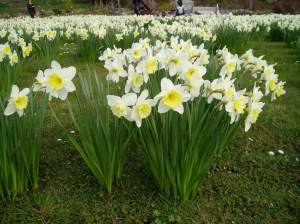 Narcissus Daffodil, jonquil, daffadowndilly, garden Victoria BC Pacific Northwest