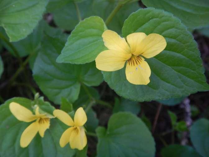 Wild Yellow Violets