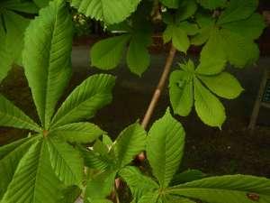 Aesculus hippocastanum, horse-chestnut, horse-chestnut, horse chestnut, conker tree, garden Vancouver Island Island Victoria BC Pacific Northwest