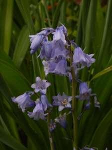 Hyacinthoides hispanica – bluebells spanish blue bells garden Victoria, Vancouver Island, BC, Pacific Northwest