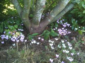 hardy cyclamen, persian violet, , ivy-leaved cyclamen or sowbread, garden Victoria, Vancouver Island, BC, Pacific Northwest