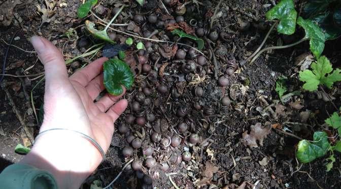 Cyclamen Seedpods
