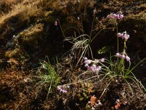 sweet onion, barbecuing onion, nodding wild onion, lady's leek, garden Victoria, Vancouver Island, BC, Pacific Northwest