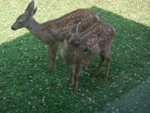blacktail fawn twins deer, garden Victoria, Vancouver Island, BC, Pacific Northwest