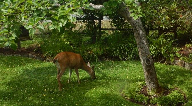 blacktail doe deer grazing on clover selfheal meadow, garden Victoria, Vancouver Island, BC, Pacific Northwest