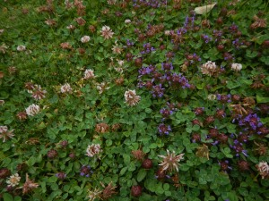 clover, selfheal, purple deadnettle, meadow, self-heal, Prunella, garden Victoria BC Pacific Northwest