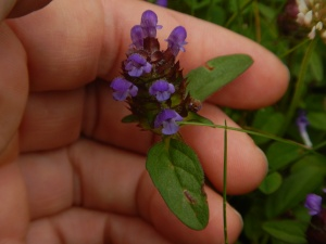 selfheal, purple deadnettle, self-heal, Prunella, garden Victoria BC Pacific Northwest