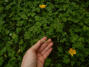 creeping buttercup, sitfast, restharrow, creeping crowfoot, Ranunculus repens, garden Victoria, Vancouver Island, BC, Pacific Northwest