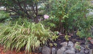 Amaryllis belladonna , Madonna Lily, Jersey Lily, Amaryllisrosea, Brunsvigiarosea,, garden Victoria, Vancouver Island, BC, Pacific Northwest